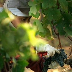 picking grapes by hand